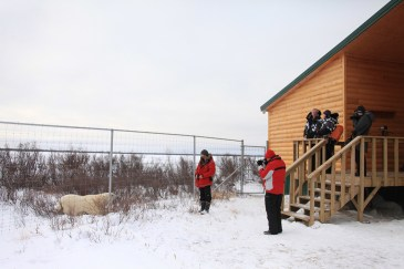 Guests talking to polar bear outside fence at Dymond Lake Ecolodge. Dafna Bennun photo.