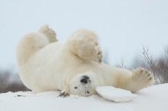 Polar bear stretch at Dymond Lake Ecolodge. Robert Postma photo.