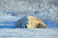 Ultimate relaxation for polar bear at Dymond Lake Ecolodge. Ruth Schneider photo.
