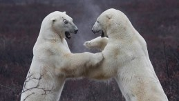 Polar bears sparring at Dymond Lake Ecolodge. Robert Postma photo.