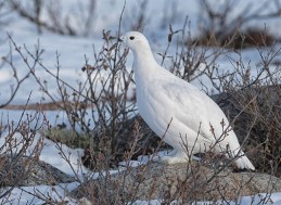 Ptarmigan at Dymond Lake Ecolodge. Robert Postma photo.