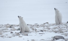 Polar bears sniffing the air at Seal River Heritage Lodge. Cyril and Sophie Bauer photo.