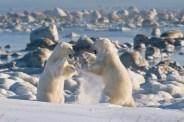 Dancing polar bears. Seal River Heritage Lodge. Dennis Fast photo.
