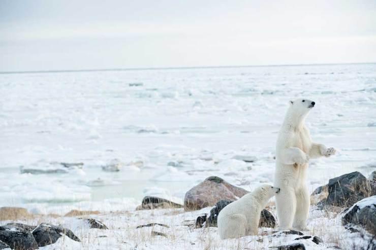 Polar bear mom standing with cub. Seal River Heritage Lodge. Anjali Singh photo.