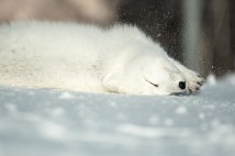 Arctic fox rolling and relaxing at Seal River. Matt Simpson photo.