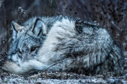 Curled up for winter. Wolf at Nanuk. Scott Beach photo.