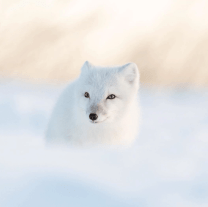 Arctic fox alone at Seal River Heritage Lodge. George Turner photo.