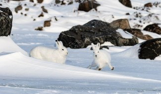 Arcti hares playing at Seal River Heritage Lodge. Bernice Jacobs photo.