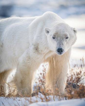 Warrior Pete the polar bear at Seal River Heritage Lodge. Nate Luebbe photo.