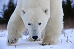 Agile polar bear. Nanuk Polar Bear Lodge. Ian Johnson photo.