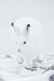 Arctic hare on the move. Seal River Heritage Lodge. Charles Glatzer photo.