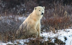 Polar bear watching guests. Nanuk Polar Bear Lodge. Steve Zalan photo.