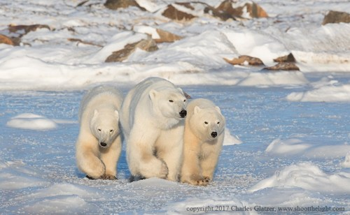 Polar bear family outing. Seal River Heritage Lodge. Charles Glatzer photo.