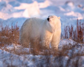 Polar bear in warm sun. Nanuk Polar Bear Lodge. George Turner photo.