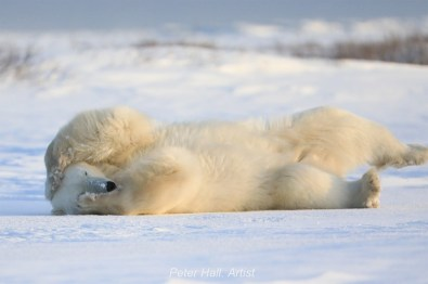 Polar bear rolling at Nanuk Polar Bear Lodge. Peter Hall photo.