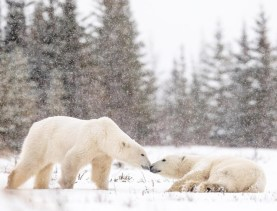 Polar bears nose to nose at Nanuk Polar Bear Lodge. George Turner photo.