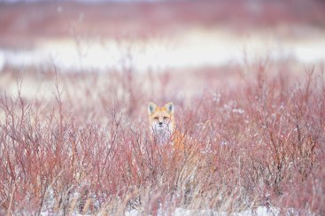 Red fox in red willows at Nanuk. Ian Johnson photo.