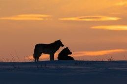 Wolf romance. Nanuk Polar Bear Lodge. Arctic Wild photo.