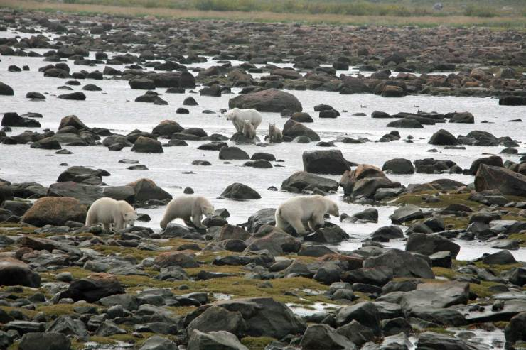 Two moms, two sets of cubs! Seal River Heritage Lodge. Linda Besse photo.