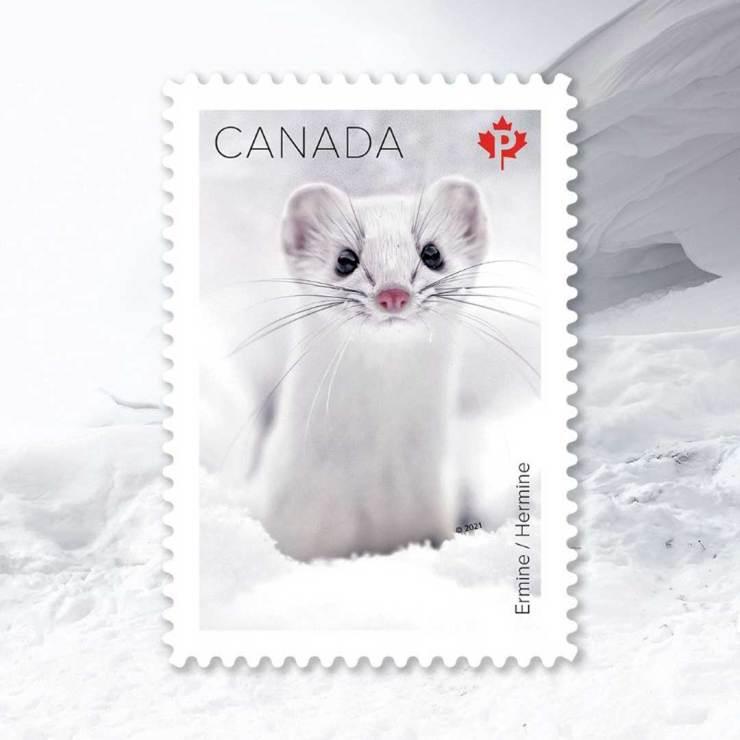 Ermine. Canada Post Snow Mammals Stamp Collection. Robert Postma photo.