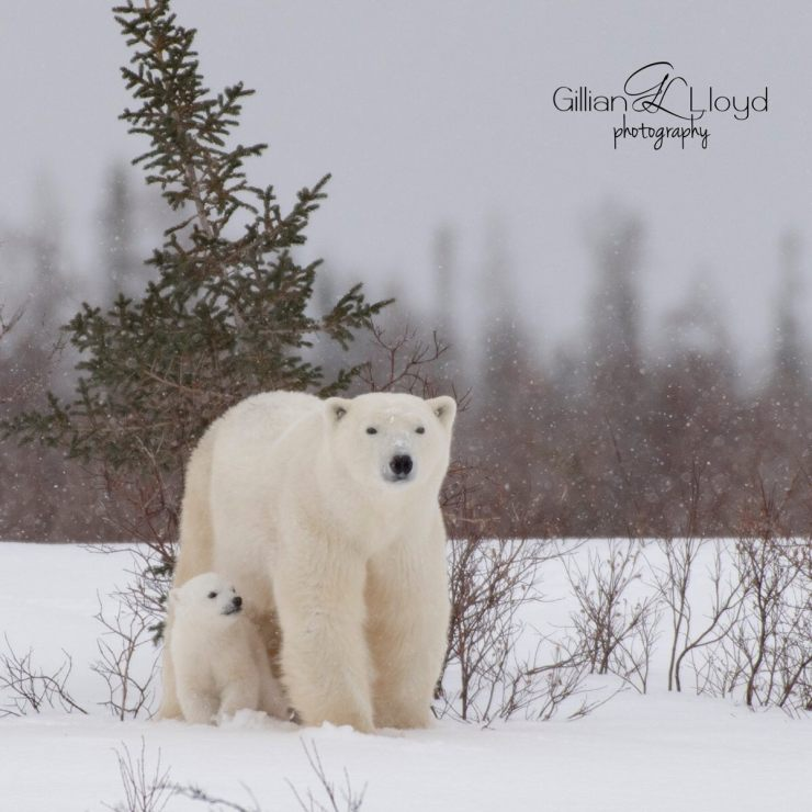 Mom with cubs at Nanuk. The other is hiding! Gillian Lloyd photo.