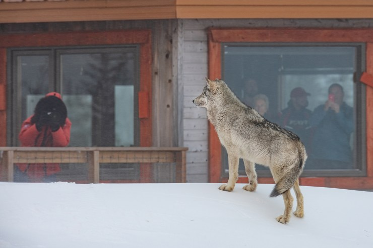 Wolf visiting guests at Nanuk. Jad Davenport photo.