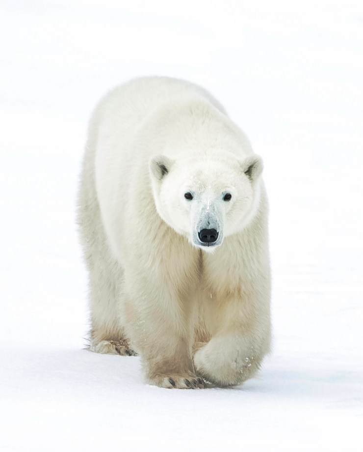 Depending on ice conditions, polar bears could still be in the area around Nanuk. Jad Davenport photo.