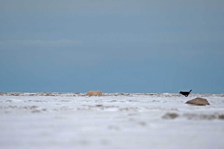Wolf chasing a polar bear at Nanuk. Jianguo Xie photo.
