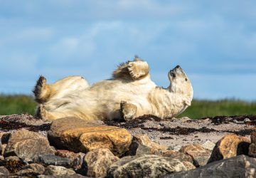 Polar bear basks in the warmth of the Arctic summer sun