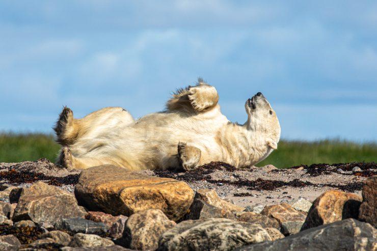 Polar bear basks in the warmth of the Arctic summer sun