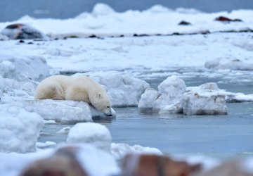 Polar bear drinking from Hudson Bay near Seal River Heritage Lodge