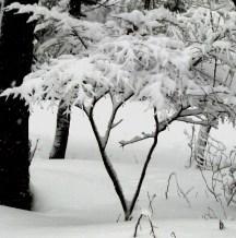redbud đóng tuyết