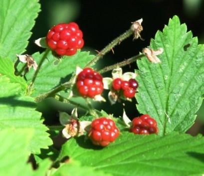berry rừng