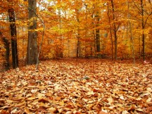 rừng vắng có bao lá vàng