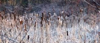 Cỏ cattail trên đồng khi bị sương giá