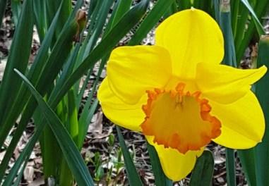 daffodil nở hết mức đến đỉnh của cái đẹp