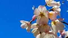 đào trắng cánh hồng nhạt