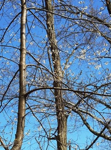 cây cherry (anh đào) trước nhà nở hoa trắng lấm tấm