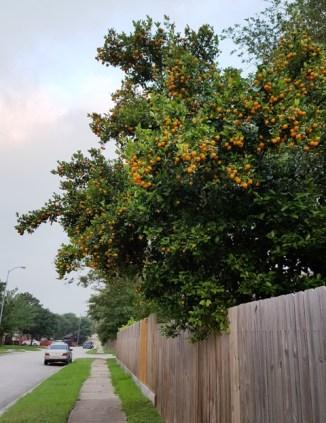 Buổi sáng đi bộ thấy cây quất sai trái