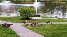 đàn ngông ở bên hồ Watchung