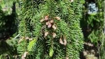 Đây là những trái li ti bám lên ngọn lá thông.