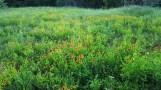 Thảm hoa