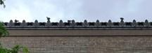 bồ câu trên nóc nhà ga