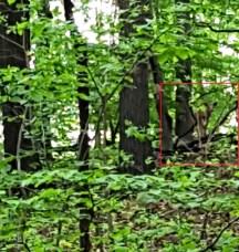 Nai ở chung quanh nhà tôi thì thường hay gặp nhưng đi rừng thì ít khi gặp nai. Sáng hôm ấy gặp chú nai này chạy nhanh khủng khiếp. Ra thật xa chú đứng lại nhìn chúng tôi.