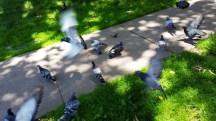 cho bồ câu ăn trong công viên Washington