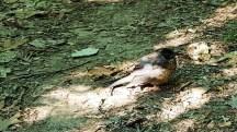 Con chim ốm, không buồn bay tránh người. Có lẽ nó sắp chết.
