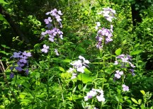 Hoa rừng, hai màu tím và trắng, mọc đầy ở nhiều nơi trên chặng đường rừng. Gần Nature Science Center trên đường mòn có dấu hình vuông màu trắng, nguyên một vạt rộng toàn hoa này, cao mảnh khảnh và rất duyên.