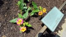 hoa trâm ổi là lantana