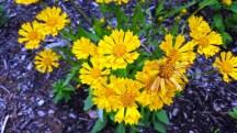 hoa vàng trồng trước Nature Science Centẻ