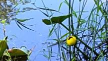 Hoa có tên là pond lily. Cả tuần chỉ nở he hé đến thế thôi.